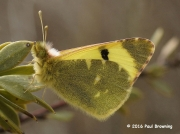 Spanish Greenish Black-tip butterfly  Euchloe-bazae
