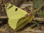 Spanish Greenish Black-tip butterfly  Euchloe-bazae ssp.iberae