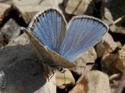 Spanish Zephyr Blue butterfly male - Teruel, Spain 19-6-10 © P Browning