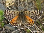 Spotted-Fritillary-butterfly-Melitaea-didyma-2750