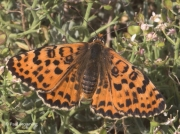 Spotted-Fritillary-butterfly-Melitaea-didyma-2751