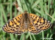 Spotted-Fritillary-butterfly-Melitaea-didyma-2752