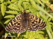 Spotted-Fritillary-butterfly-Melitaea-didyma-2753
