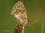 Spotted-Fritillary-butterfly-Melitaea-didyma-2754