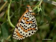 Spotted-Fritillary-butterfly-Melitaea-didyma-2755