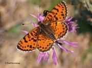 Spotted-Fritillary-butterfly-Melitaea-didyma-2756
