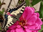 Swallowtail butterfly (Papilio machaon)-Catalonia-Spain