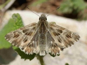 Tufted marbled Skipper male - Malaga, Spain © P Browning