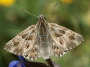 Tufted marbled Skipper male - Spain © P Browning