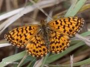 Weaver's-Fritillary-butterfly-Clossiana-dia-Spain-2738