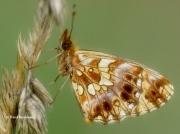 Weaver's-Fritillary-butterfly-Clossiana-dia-2739