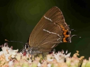 White-letter Hairstreak butterfly (Satyrium w-album) 4-7-06 ©