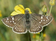 Yellow-banded Skipper female - Spain © P Browning