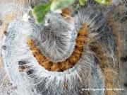 Southwestern Tent caterpillar Moth (Malacosoma incurva) New Mexico US photo Saginaw