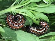 variegated-fritillary-caterpillars-31520
