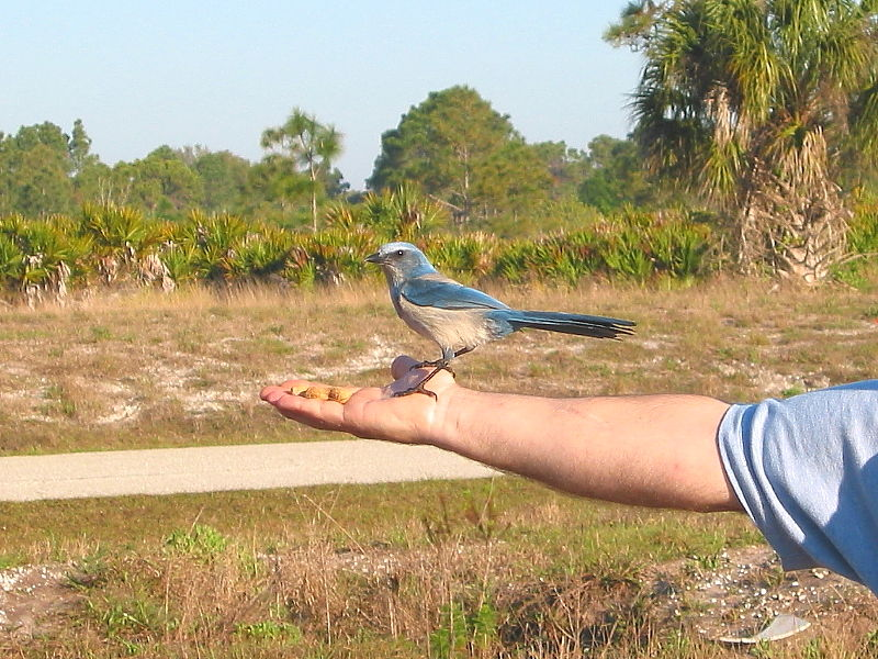 Florida Scrub-jay (Aphelocoma coerulescens) © Claire Ogden