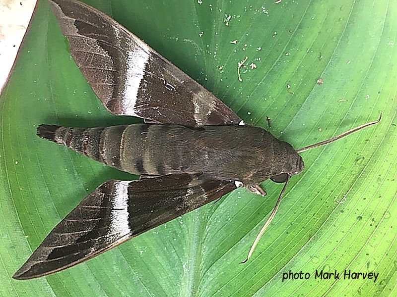 Nephele rosae White Banded Nephele Hawkmoth Zambia photo Mark Harvey