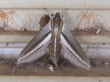 impatiens_hawk_moth_1722