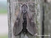 Pine-Hawkmoth (Hyloicus pinastri).