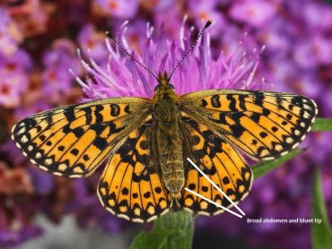 What's the difference between Pearl-bordered Fritillary and Small Pearl-bordered Fritillary butterflies?