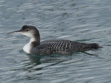 Great Northern Divers, Gavia immer