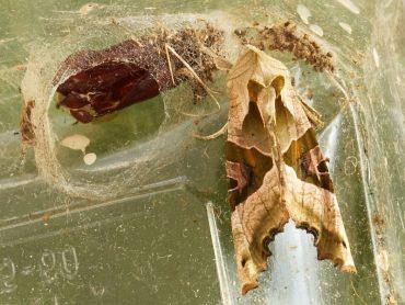 Emerging Angle Shades moth (Phlogophora meticulosa)