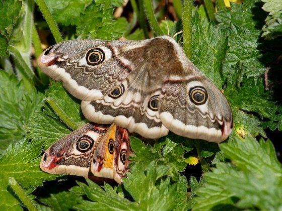 Emperor Moths over heather at Kennack sands