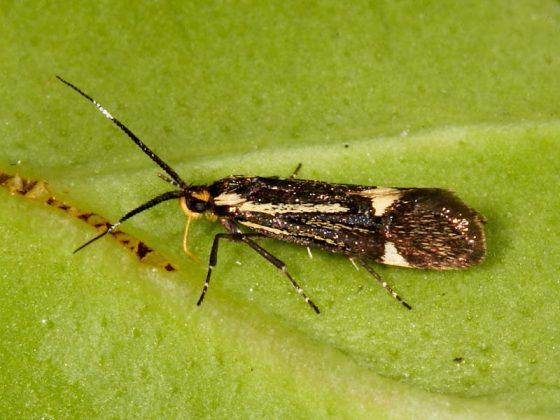 Esperia sulphurella is a tiny moth with long antennae