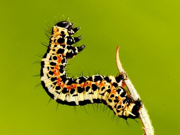 Magpie Moth Caterpillar on silk thread