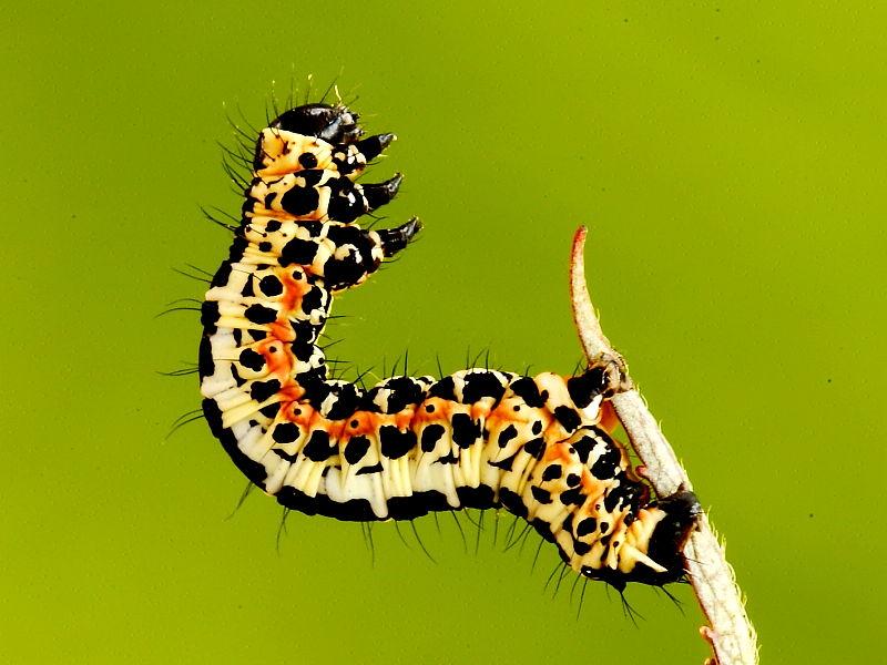 Magpie Moth Caterpillar On Silk Thread