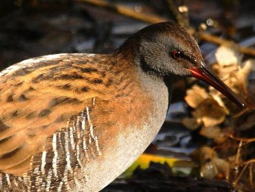 BBC Springwatch Water Rail and Otters