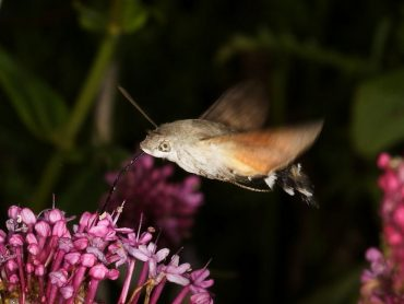 Migrant Hummingbird Hawk-moths arrive in the UK