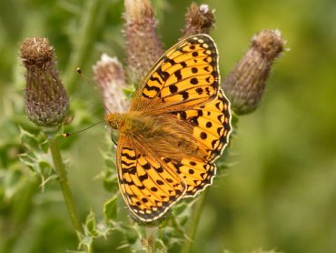 Identification of the male and female Dark Green Fritillary Butterfly