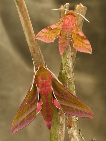Identification of the Elephant Hawk-moth and Small Elephant Hawk-moth