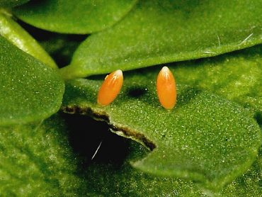 Clouded Yellow butterfly eggs