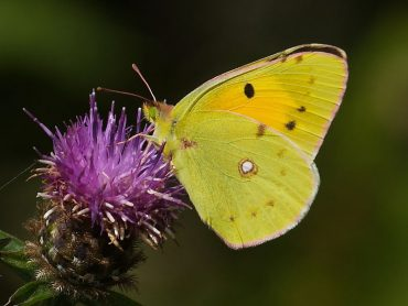 Migrant Clouded Yellow butterflies, Colias croceus