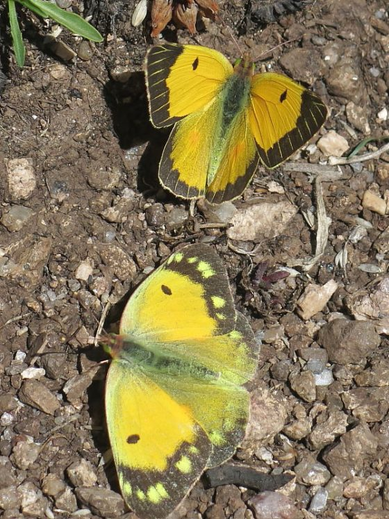 Courting male and female Clouded Yellow butterflies