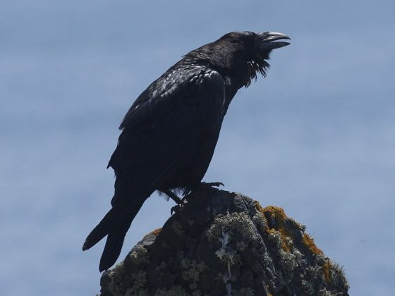 Ravens, the largest all black bird in the British Isles.