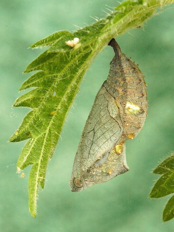 Red Admiral Butterfly egg and chrysalis