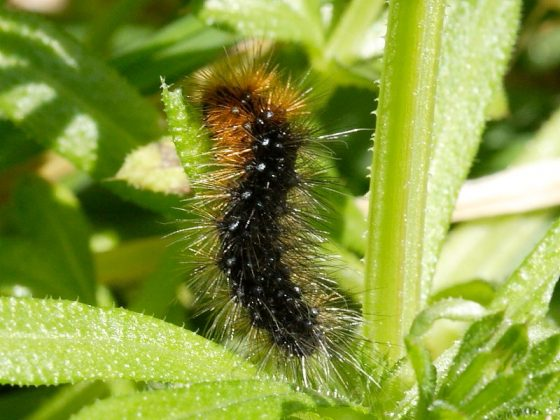 Overwintering moth caterpillars