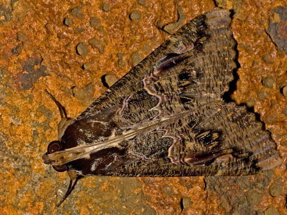 South African Sundowner Moth and caterpillar