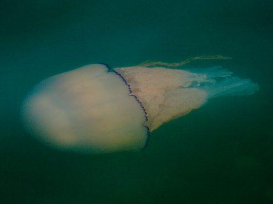 Large Jellyfish sightings