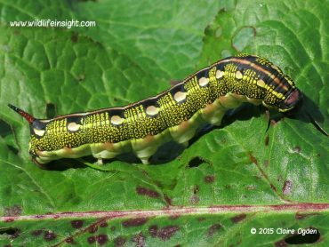 Striped Hawk-moth caterpillar on the Roseland in Cornwall