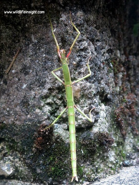 Cornish Stick-insects