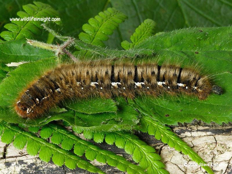 Oak Eggar Moth Caterpillar And Moth