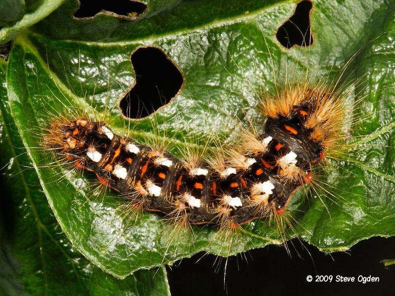 The Knot Grass Moth And Caterpillar Acronicta Rumicis