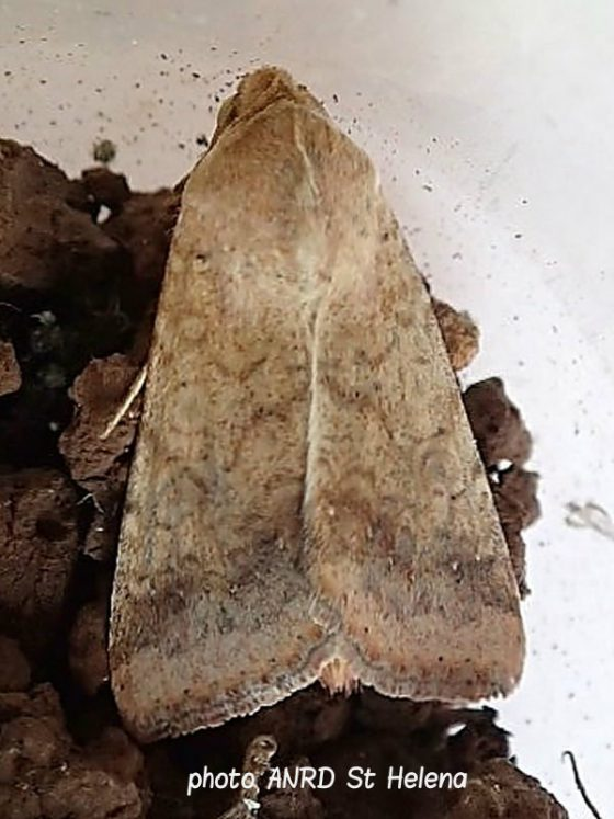 A new moth species for St Helena