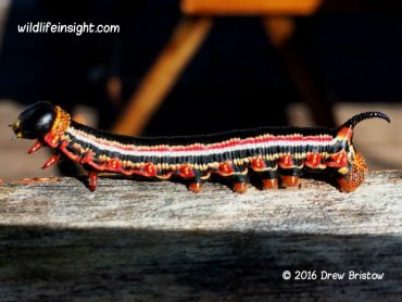 Cephonodes armatus Hawkmoth caterpillars