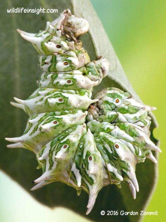 Apochima flabellaria caterpillar