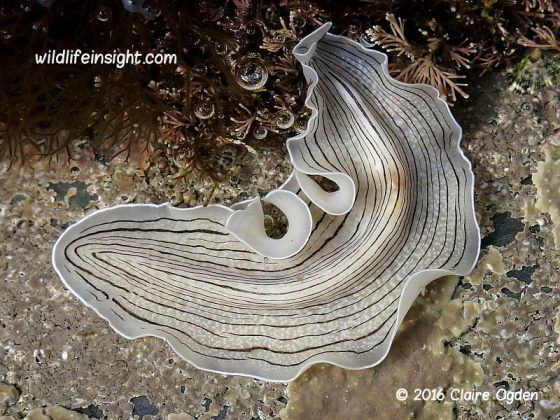 Candy-striped Flatworm